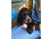PRA & FN clear show Cocker Spaniel puppies