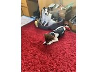 Jack Russell 7 month old looking for a loving family or new best friend