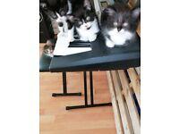 Kitten's for sale