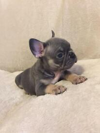 Last Beautiful Blue & Tan French Bulldog Girl! Ready Now! Kc Registered