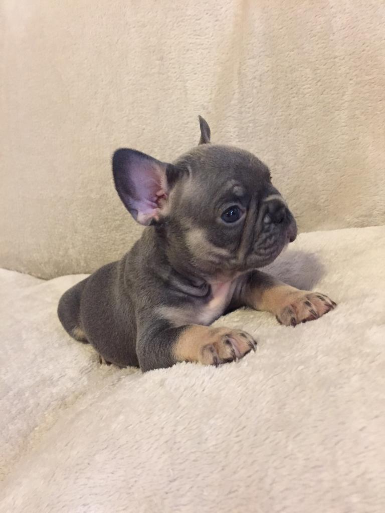 Last Beautiful Blue & Tan French Bulldog Girl! Ready Now! Kc Registered