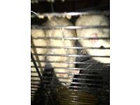 4 male rats free