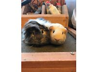 Sweet baby boy guinea pigs for sale