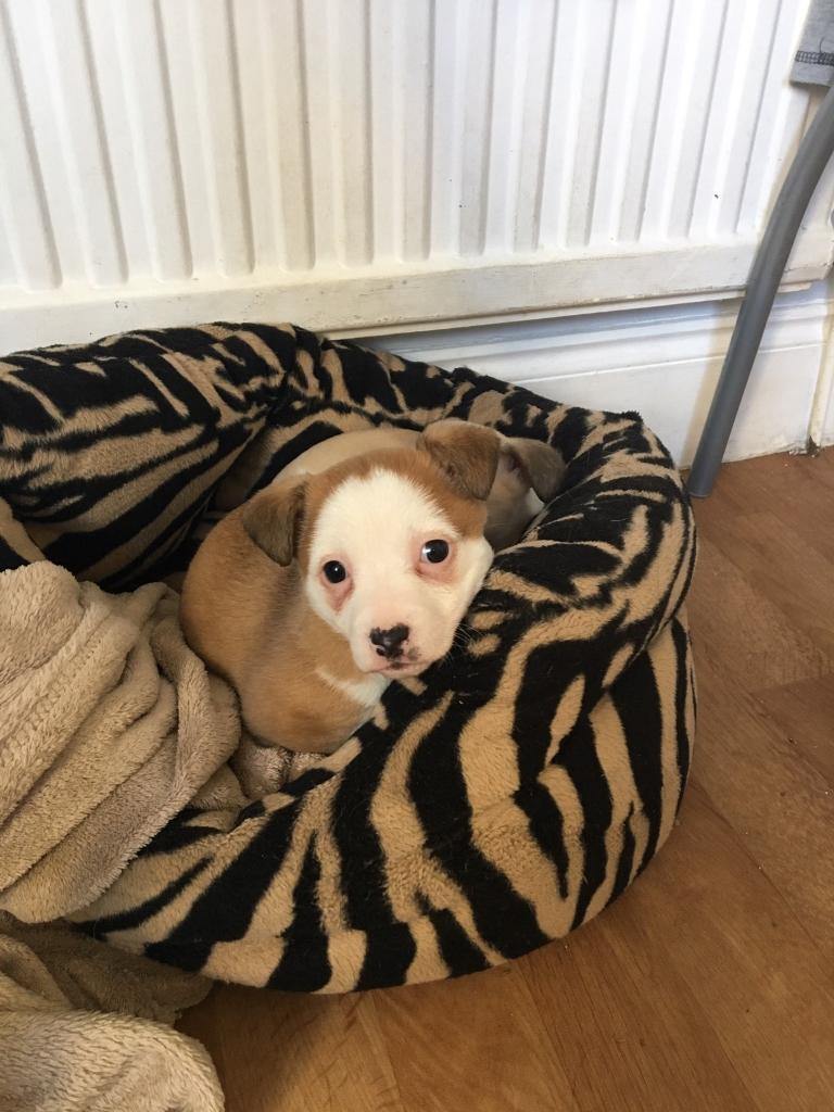 Mini Jack Russel Puppies