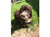 Beautiful f1 cockapoo puppies for sale