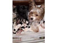 Litter of Biewer Terrier pups