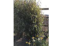 Bamboo plants for sale, non-invasive