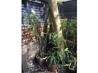 Bamboo plant in barrel type strong plastic pot. Approx 7ft.