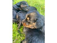 KC Reg Miniature Long Haired Dachshund puppies