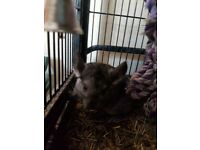 Chinchillas for sale think 1 is male and 1 female