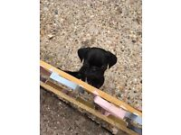 11 week old pug puppy for sale