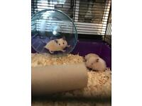 Syrian hamsters 🐹