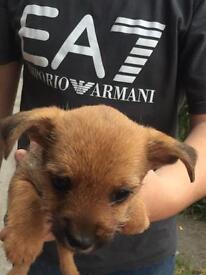 Jack Russel cross yorkie pup for sale
