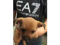 Jack Russel cross yorkie pup for sale