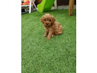 Toy cavapoo puppies health tested parents.