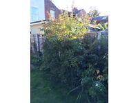 Free plum tree and yellow forsythia