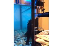 Bristle nose Pleco and 3 black neon tetra
