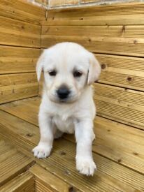 White Girl Labrador puppy