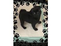 Kc Reg Pug Puppies for Sale
