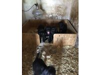 3 Dog Black Labradors for sale Reay April 3rd