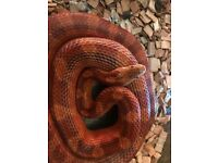 Male Blood Corn Snake Subadult
