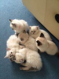 Ragdoll seal lynx kittens