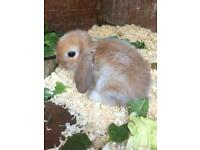 Beautiful mini lop baby's ready nor