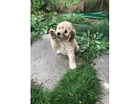 5 beautiful little girl Cavapoochon puppies