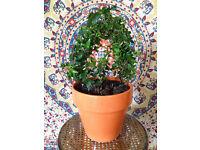 Pretty Ivy Plant shaped like a Triangle in Big Orange Pot