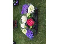 Hydrangea plants