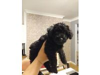 Beautiful 3/4 poodle puppies
