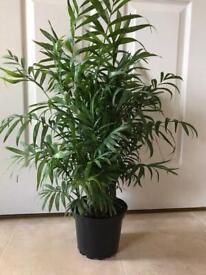 Parlour palm trees in a 17cm pot