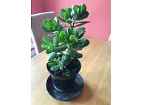 Money/jade/lucky plant