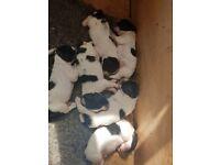 Full pedigree Springer pups