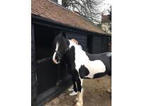 14.1 black and white cob cross welsh