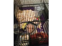 Lovely hamster need to find a home