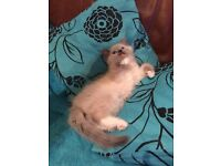 ***RESERVED***Male ragdoll kitten