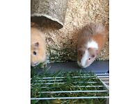 2 Female Guinea Pigs with indoor cage and outdoor hutch plus accessories