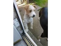 Dog jack russel