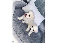Male Maltese Puppies