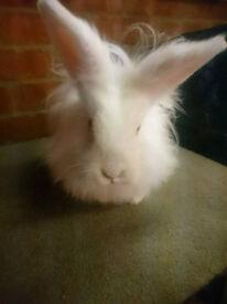 White Female Fluffy Lion X Lop Doe/Girl Pet Rabbit