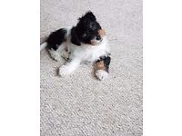 8 week old 3/4 biewer yorkie X 1/4 Dachshund SOLD SUBJECT TO COMPLETED PAYMENT