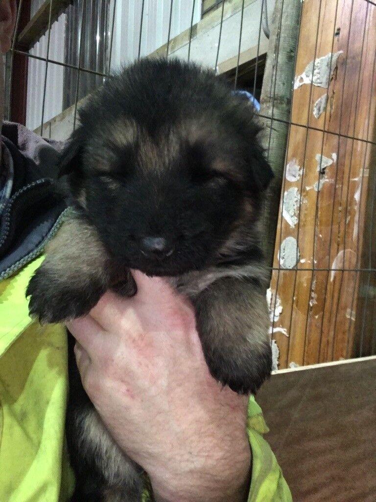 German shepherd pups only 2 left price reduced