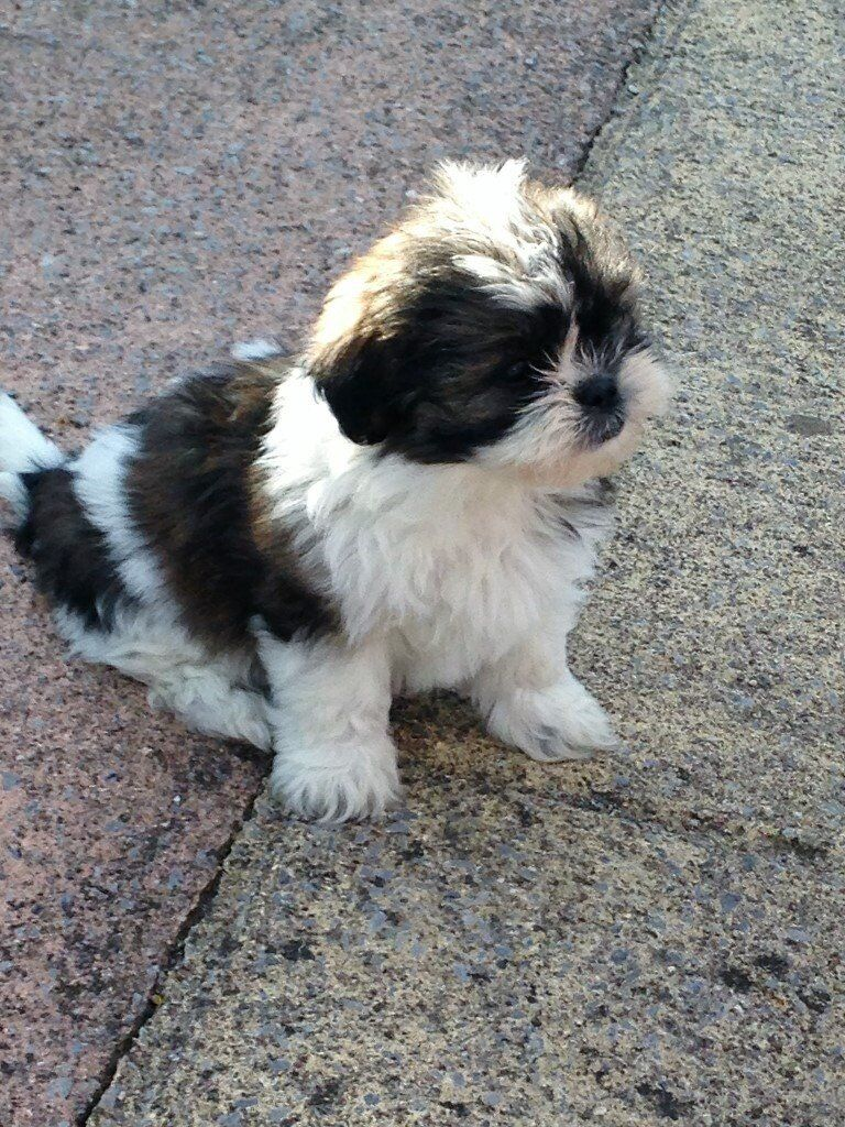 Malshi Puppies Maltese And Shih Tzu Mix Easy To Train And A