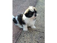 Malshi puppies. maltese and shih tzu mix. easy to train and a delight to have arround.