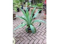 Mexican yucca plant