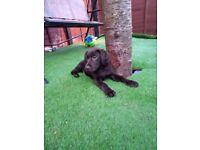Beautiful chocolate Labrador