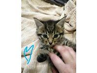 tabby kitten for sale