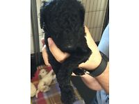 KC Registered Poodle Puppies