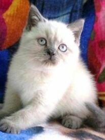 Colourpoint BSH kittens